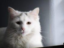 Piękny Biały Puszysty kot w świetle słonecznym Zdjęcia Royalty Free