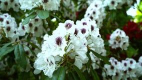 Piękny biały rododendronowy kwiat zbiory
