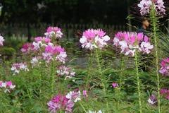 Piękny Biały trawa kwiat bengalczyka ogród zdjęcie royalty free