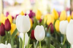Piękny biały Tulipanowy kwiat nad zamazanym kolorowym tulipanowym kwiatu ogródem Fotografia Stock