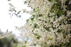 Piękny białych kwiatów abstrakcjonistyczny kwiecisty kwitnący tło ogrodowa dratwy roślina Obraz Royalty Free