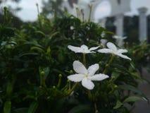 Piękny białych kwiatów spojrzenie dalej Obraz Stock