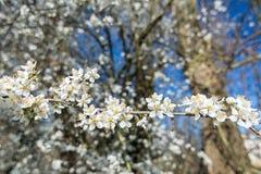 Piękny biel kwitnie na drzewie w wiośnie zdjęcie stock