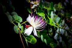 Piękny biel menchii Capparis spinosa kwiat z zielenią opuszcza na czarnym tle zdjęcie stock