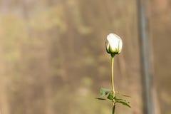 Piękny biel róży kwiat Zdjęcie Royalty Free