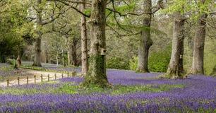Piękny Bluebell drewno, Południowy Cornwall zdjęcia royalty free