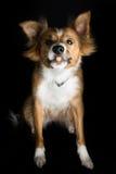Piękny Border Collie wymieniał Shirley łapie fundę Fotografia Royalty Free