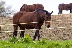 piękny brązowy koń Zdjęcie Royalty Free