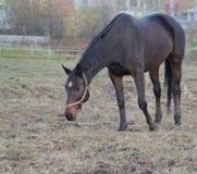 piękny brązowy koń Jesień fotografia stock