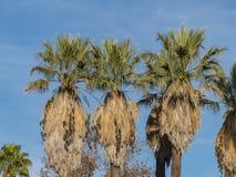 Piękny Brahea edulis, Guadalupe palma od Guadalupe wyspy fotografia stock
