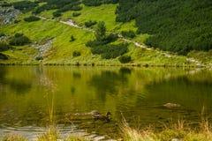 Piękny brown żeński kaczki dopłynięcie w halnym jeziorze Góra krajobraz z ptakami zdjęcia royalty free