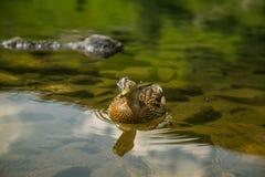 Piękny brown żeński kaczki dopłynięcie w halnym jeziorze Góra krajobraz z ptakami obrazy royalty free