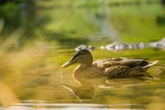Piękny brown żeński kaczki dopłynięcie w halnym jeziorze Góra krajobraz z ptakami zdjęcie stock