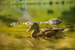 Piękny brown żeński kaczki dopłynięcie w halnym jeziorze Góra krajobraz z ptakami obrazy stock