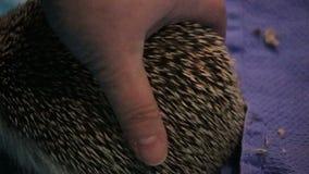 Piękny brown jeż poruszający na koc wokoło zdjęcie wideo