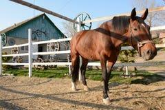 Piękny brown koń pasa na gospodarstwie rolnym na słonecznym dniu obrazy stock