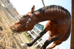 Piękny brown koń pasa na gospodarstwie rolnym na słonecznym dniu fotografia royalty free