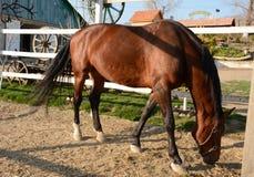 Piękny brown koń pasa na gospodarstwie rolnym na słonecznym dniu fotografia stock