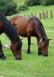 Piękny brown koński portret obrazy royalty free