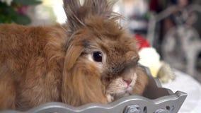 Piękny brown królik zbiory