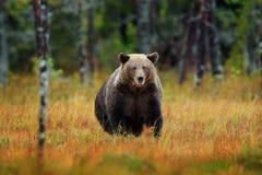 Piękny brown niedźwiedź chodzi wokoło jeziora z spadków colours Niebezpieczny zwierzę w natury drewnie, łąkowy siedlisko Przyrody obraz stock