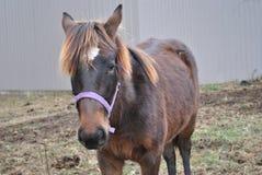 Piękny Brown Rolny koń Zdjęcia Royalty Free