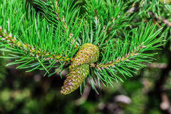 Piękny brown sosny rożek Fotografia Royalty Free
