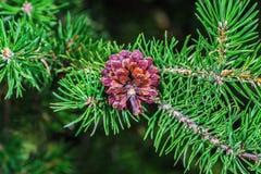 Piękny brown sosny rożek Fotografia Stock