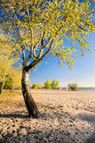 Piękny brzozy drzewo w złotych promieniach powstający słońce na plażowy II Obrazy Royalty Free