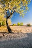 Piękny brzozy drzewo w złotych promieniach powstający słońce na plaży Fotografia Stock
