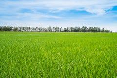 Piękny bujny zieleni ryż pole i niebieskie niebo Fotografia Stock