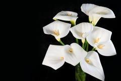 Piękny bukiet białe kalie na czarnego tła horyzontalnej orientacji zdjęcie royalty free