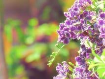 Piękny bukiet Duranta erecta lub niebo kwiat, Złoty rosy dr zdjęcie stock