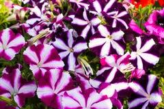 Piękny bukiet petuni kwitnąć Obrazy Stock