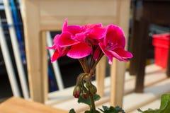 Piękny bukiet petuni kwitnąć Obrazy Royalty Free