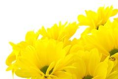 piękny bukieta chryzantem kolor żółty Obrazy Royalty Free