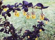 Piękny Bush z purpurami opuszcza i kolor żółty kwitnie Fotografia Stock