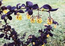 Piękny Bush z purpurami opuszcza i kolor żółty kwitnie Obrazy Stock