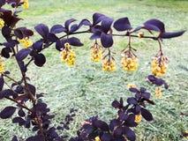 Piękny Bush z purpurami opuszcza i kolor żółty kwitnie Zdjęcie Stock
