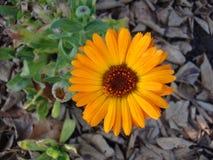 Piękny chamomile kwitnie w polu na słonecznym dniu fotografia stock