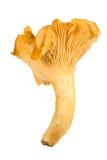 piękny chanterelle świeże Zdjęcie Stock