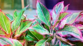 Piękny Chiński Wiecznozielony, Aglaonema roślina Obraz Royalty Free