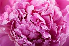 Piękny ciemnopąsowy peonia kwiat, różowy tło lub tekstura, Obraz Royalty Free