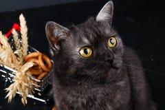 Piękny ciemny brytyjski kot jaskrawych ekspresyjnych oczy obraz stock