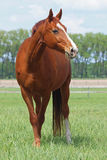 Piękny cisawy koń na paśniku Fotografia Royalty Free