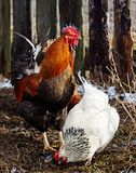 Piękny colour kogut z karmazynką Zdjęcia Stock