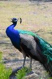 Piękny colourful pawi peafowl Pawia ogonu kolorowy zakończenie up Pawi jaskrawi piórka Obrazy Royalty Free
