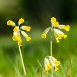 Piękny Cowslips kwitnie zbliżenie Fotografia Stock