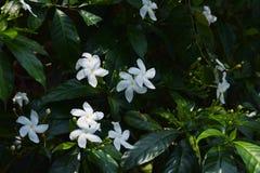 Piękny Crape jaśminu NandyarvattamPinwheel kwiat fotografia stock