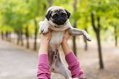 Piękny cutie pies w istoty ludzkiej ręce outdoors Zwierzęcia domowego pojęcie Zdjęcia Royalty Free